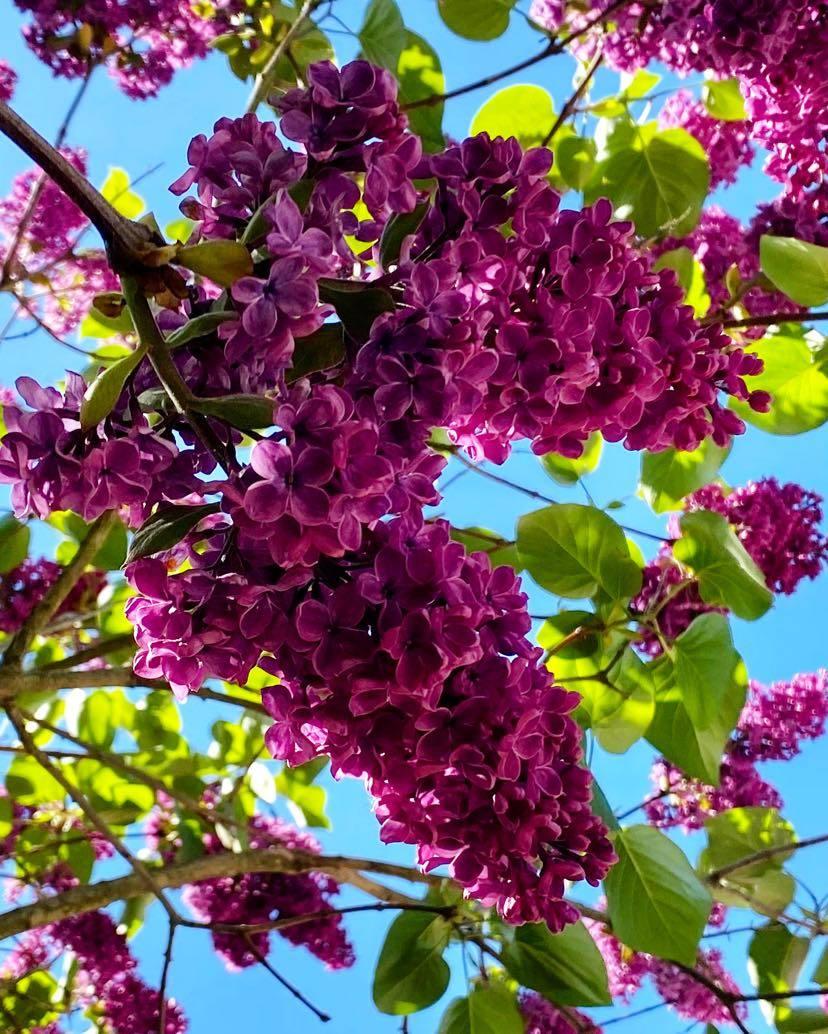 Lila blommor under blå himmel